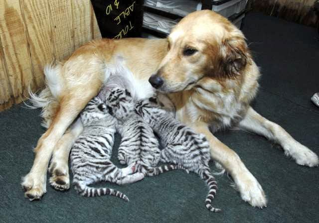 CORRECTION Adopted Tigers